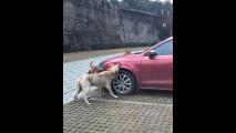 Auto attaccate dai cani, i video in rete 008