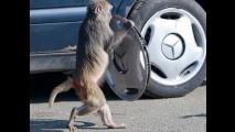 Macacos me mordam: animais destroem um Mercedes em parque inglês