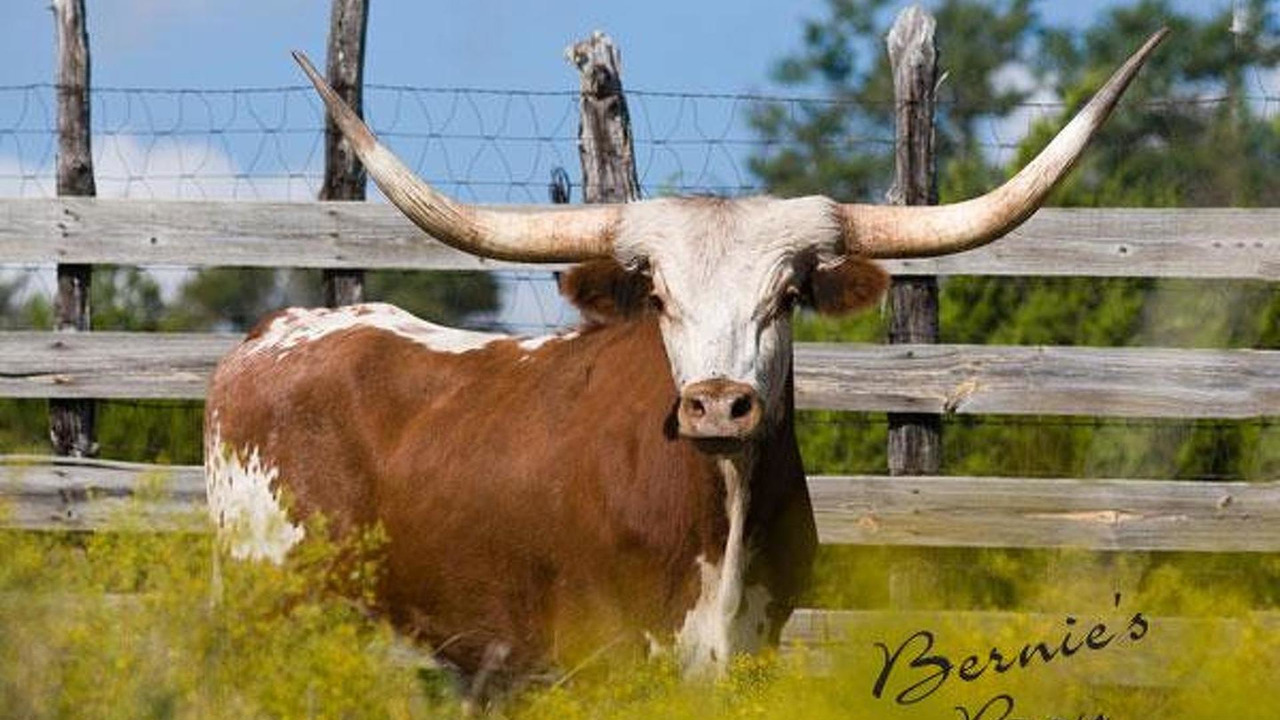 Bernie's Boy, a champion Texas Longhorn, Bernie Ecclestone's 80th birthday gift from Tavo Hellmund, 600, 31.12.2010
