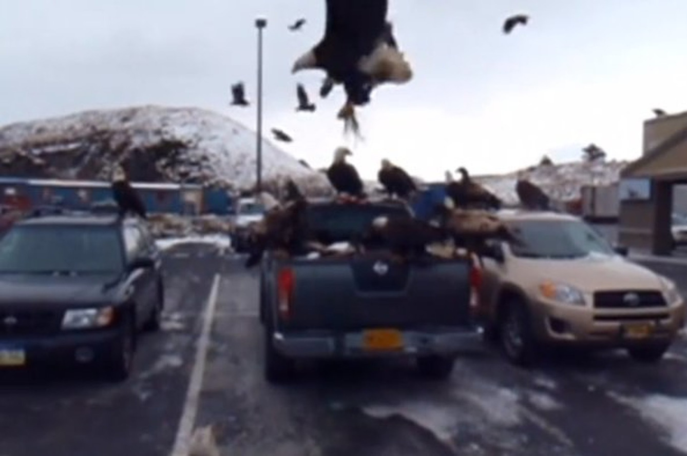 Video: Bald Eagles Attack a Nissan Pickup Truck